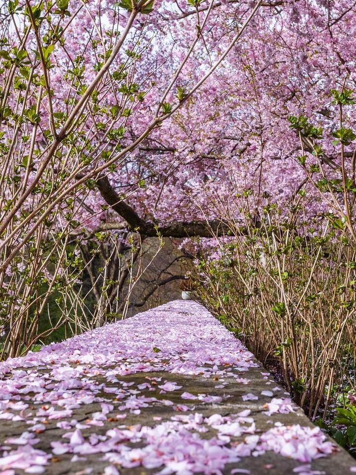 Chanticleer花园,樱花满枝_图1-9