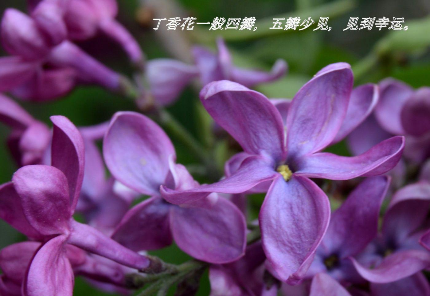 丁香花开_图1-14