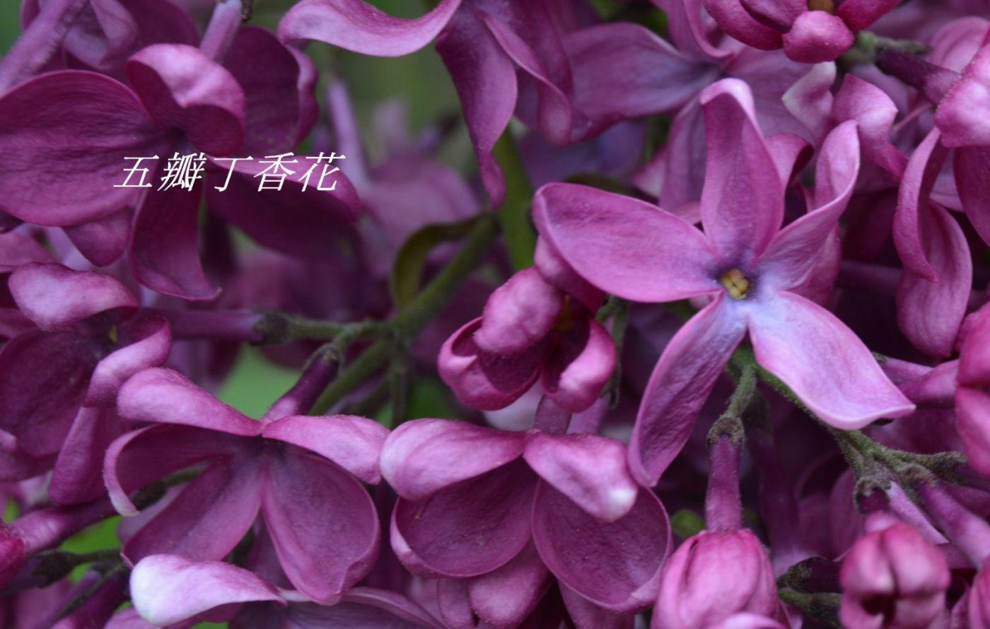丁香花开_图1-15