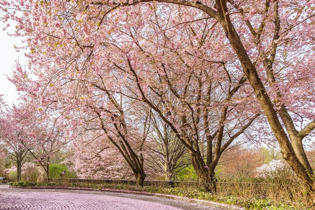 Chanticleer花园,满园樱花_图1-2