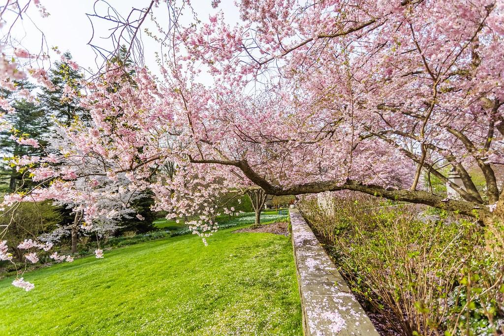 Chanticleer花园,满园樱花_图1-5