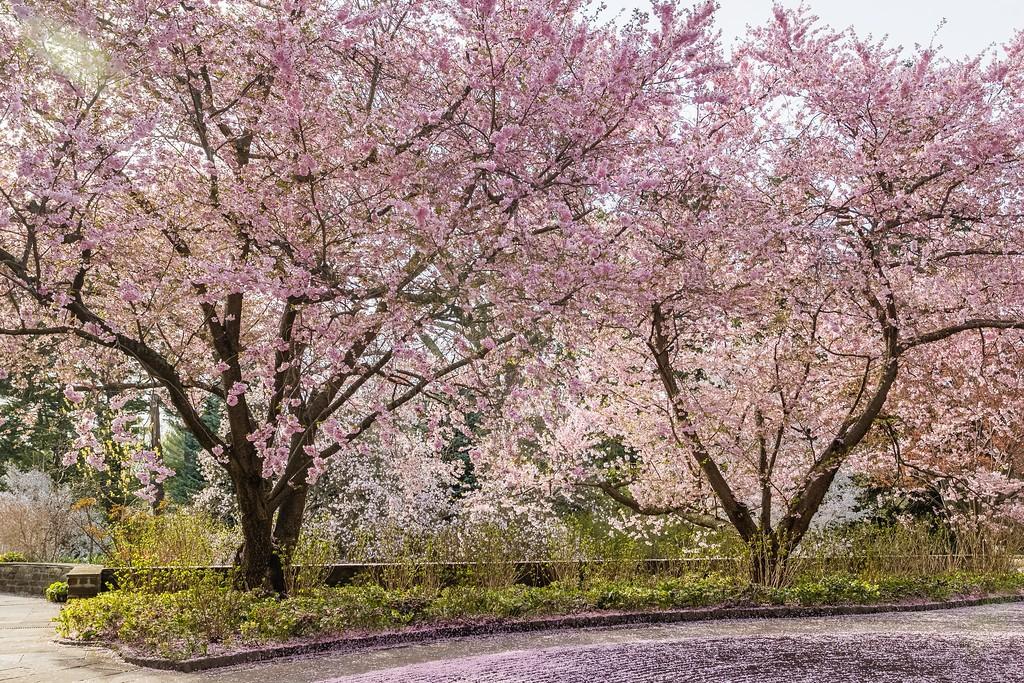 Chanticleer花园,满园樱花_图1-7