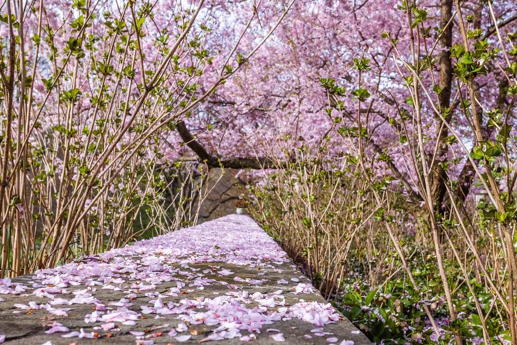 Chanticleer花园,满园樱花_图1-12