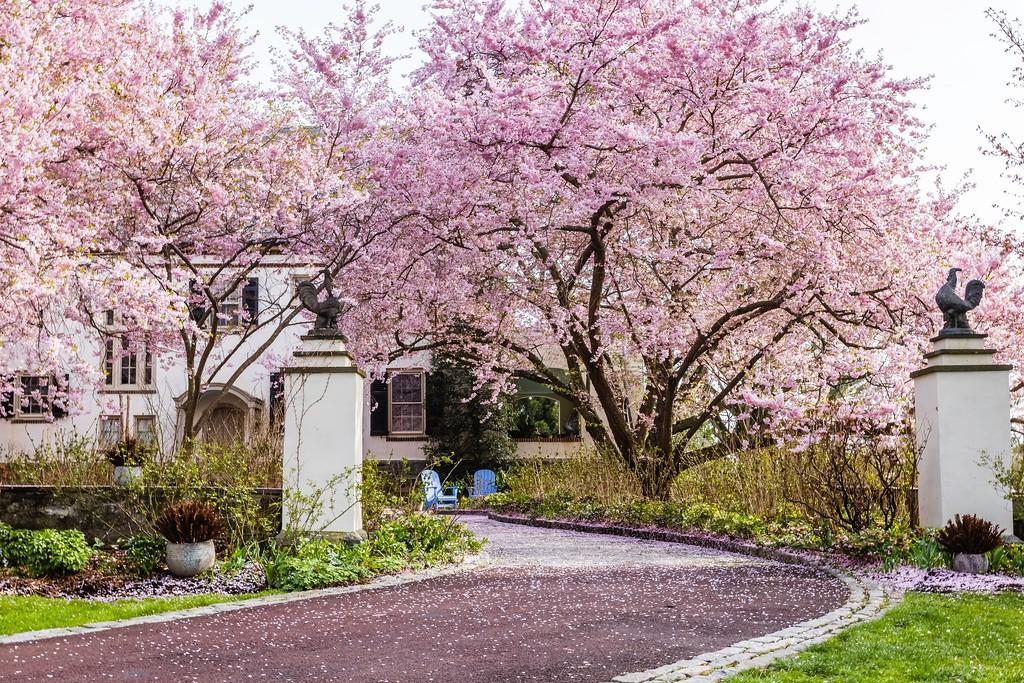 Chanticleer花园,满园樱花_图1-11