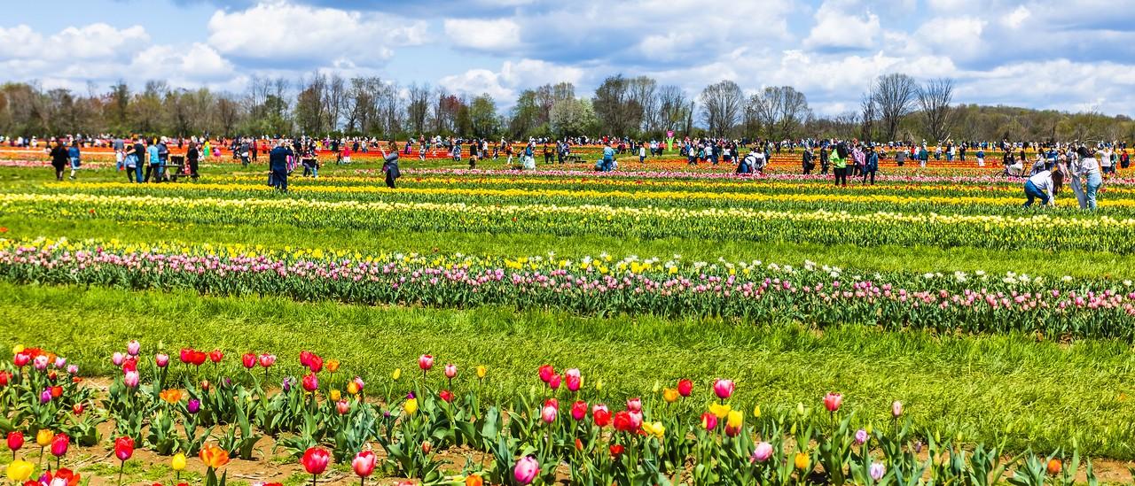 荷兰岭农场(Holland Ridge Farms, NJ),郁金香海洋_图1-6