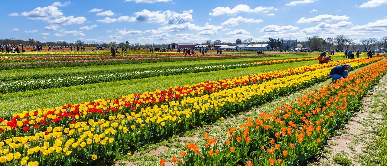 荷兰岭农场(Holland Ridge Farms, NJ),郁金香海洋_图1-4