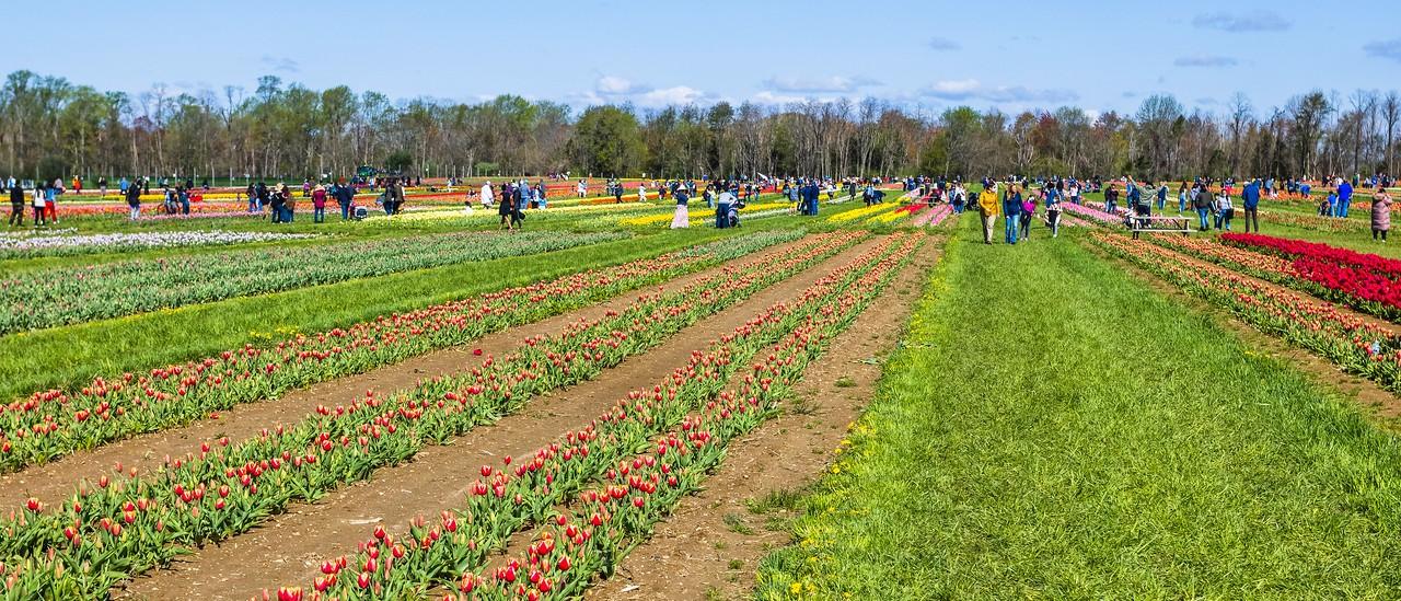 荷兰岭农场(Holland Ridge Farms, NJ),郁金香海洋_图1-15
