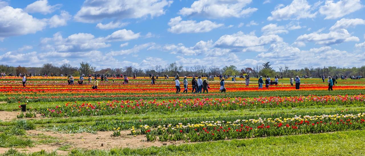 荷兰岭农场(Holland Ridge Farms, NJ),郁金香海洋_图1-3