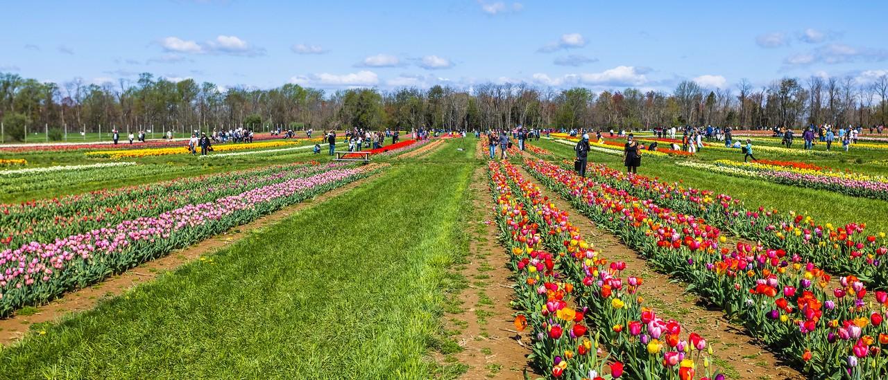 荷兰岭农场(Holland Ridge Farms, NJ),郁金香海洋_图1-2