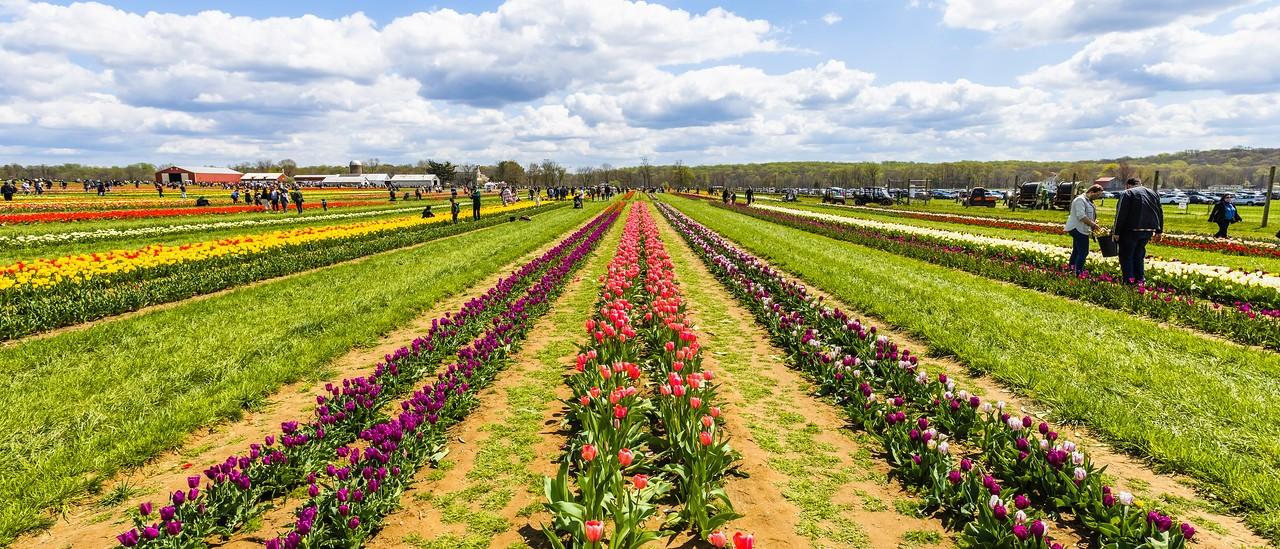 荷兰岭农场(Holland Ridge Farms, NJ),郁金香海洋_图1-1