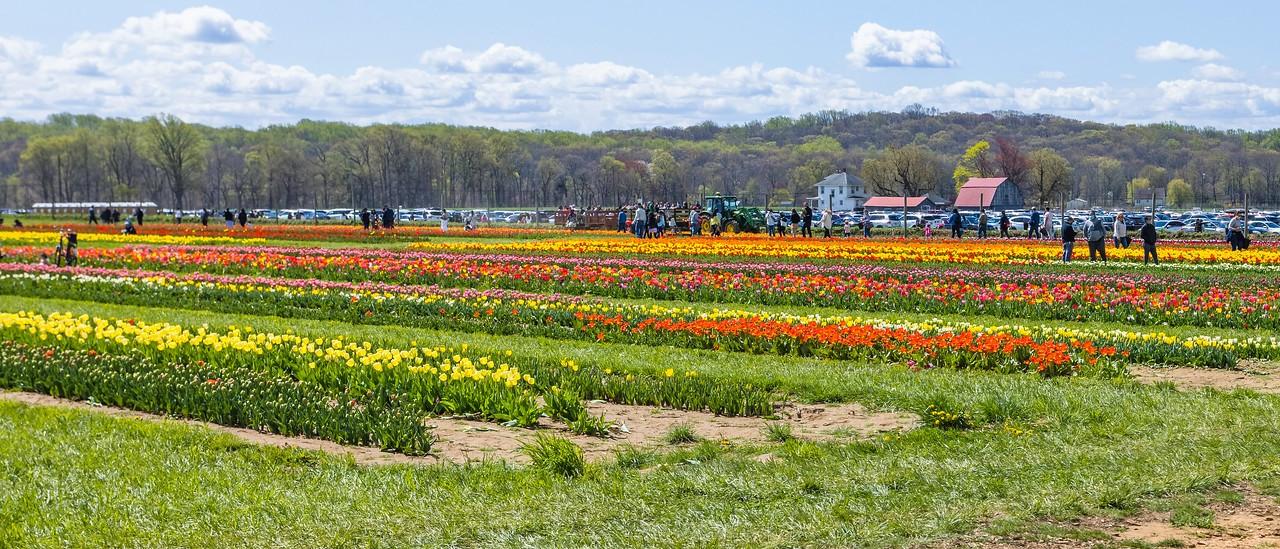 荷兰岭农场(Holland Ridge Farms, NJ),郁金香海洋_图1-14