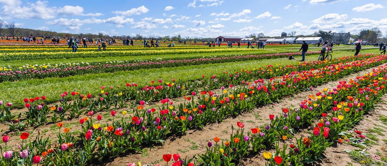 荷兰岭农场(Holland Ridge Farms, NJ),郁金香海洋_图1-7