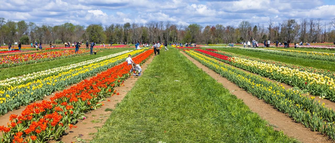 荷兰岭农场(Holland Ridge Farms, NJ),郁金香海洋_图1-11