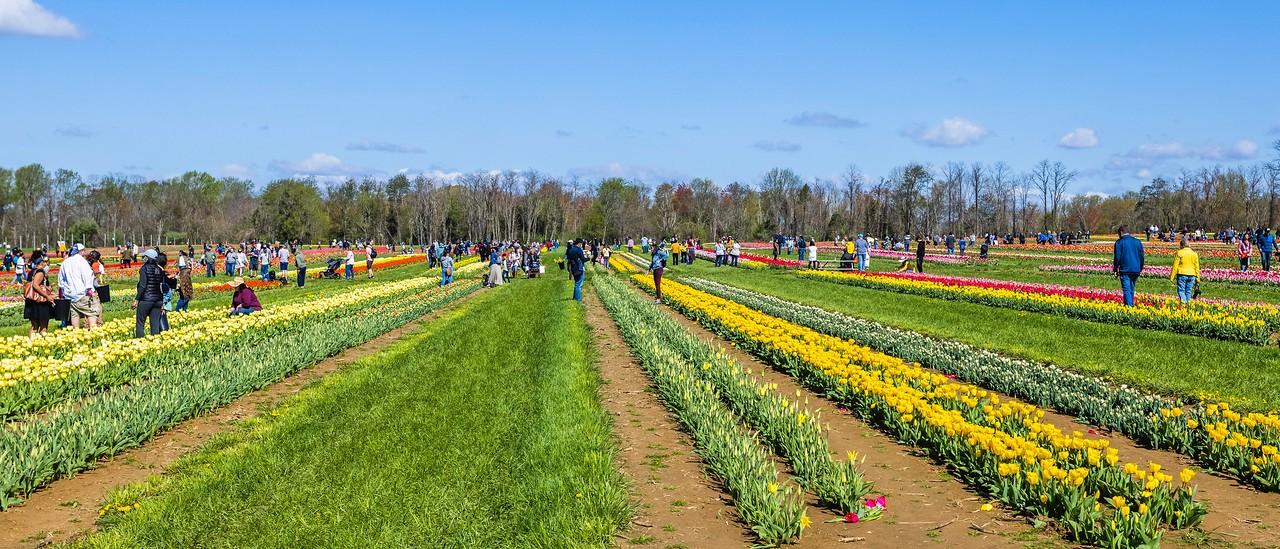 荷兰岭农场(Holland Ridge Farms, NJ),郁金香海洋_图1-13