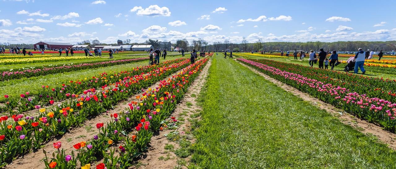 荷兰岭农场(Holland Ridge Farms, NJ),郁金香海洋_图1-12