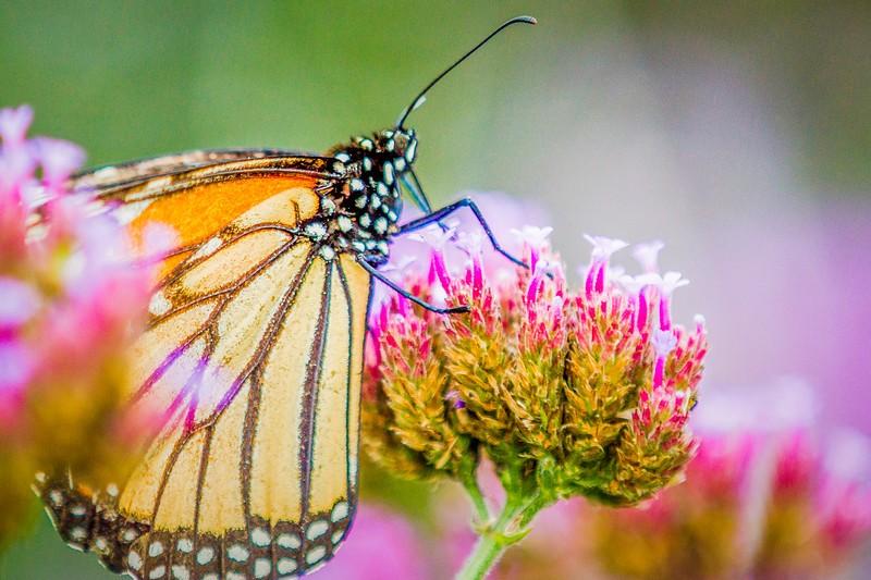 彩蝶,花的使者_图1-7