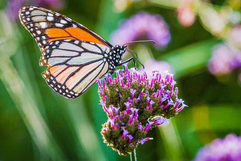彩蝶,花的使者_图1-9