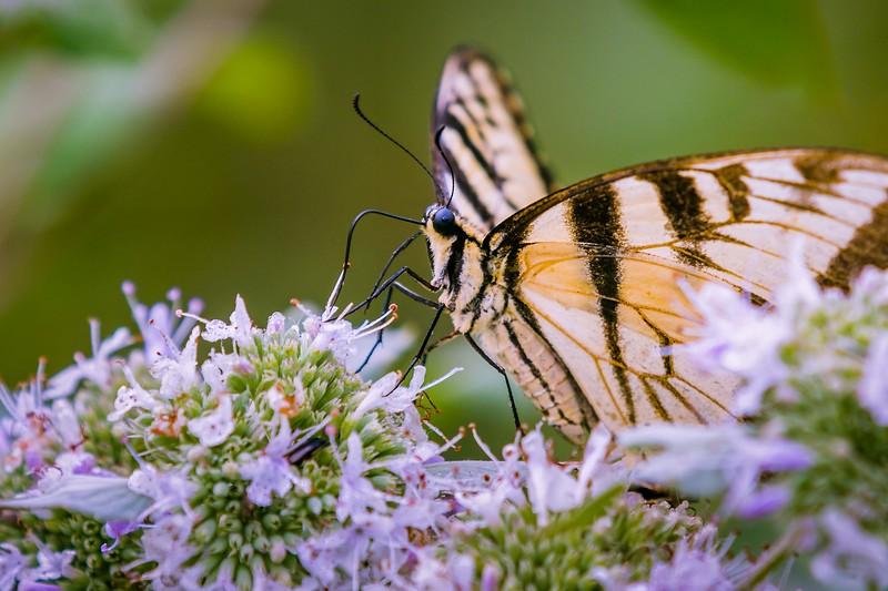 彩蝶,花的使者_图1-11