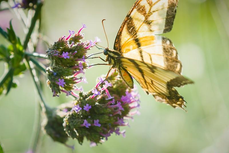 彩蝶,花的使者_图1-10
