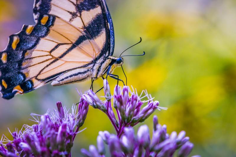彩蝶,花的使者_图1-12