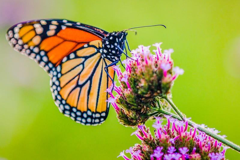 彩蝶,花的使者_图1-4