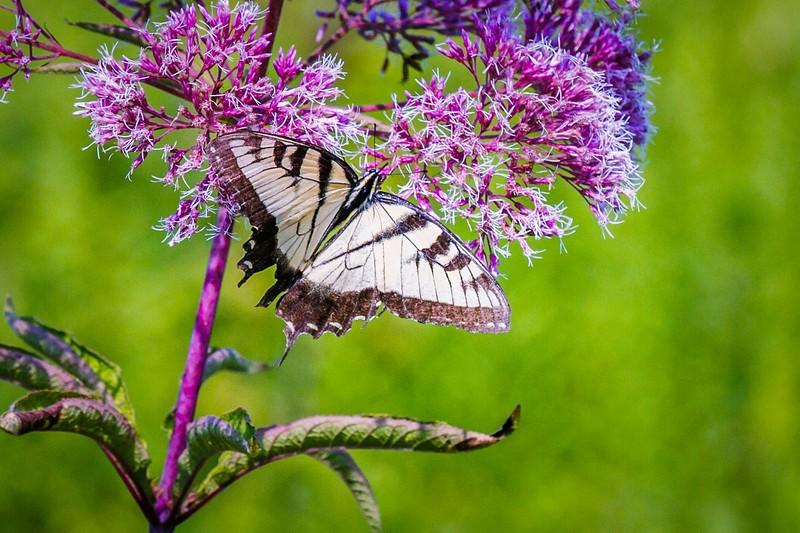 彩蝶,花的使者_图1-5