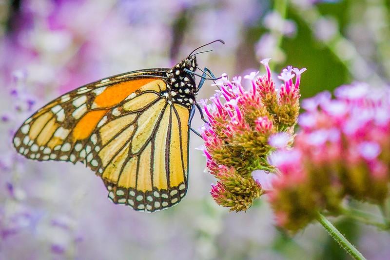 彩蝶,花的使者_图1-2