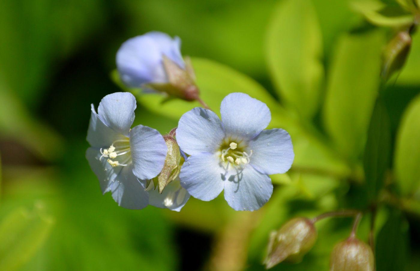 匍匐花荵_图1-3