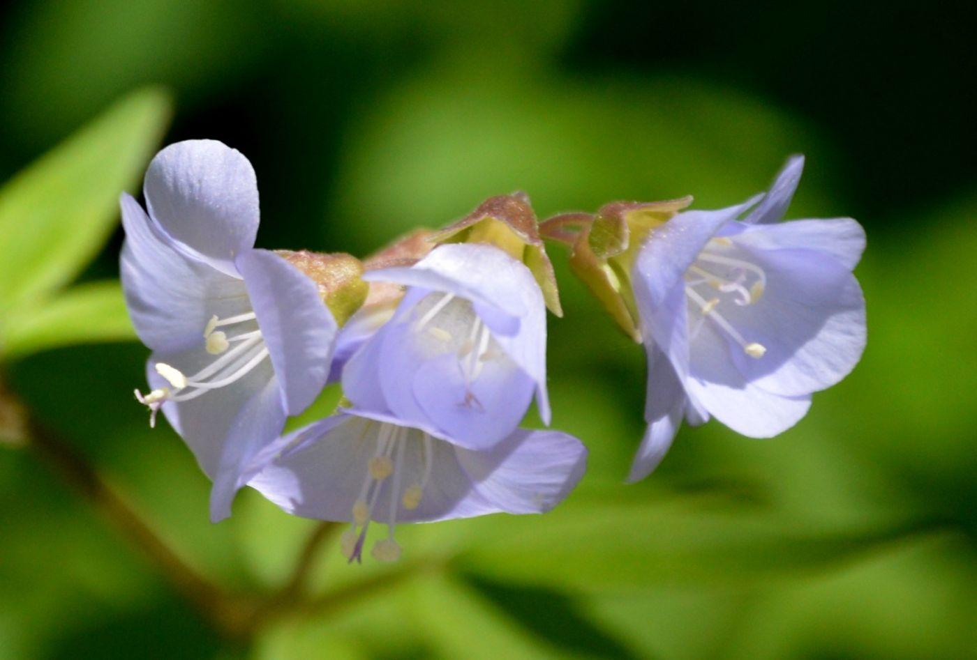 匍匐花荵_图1-5