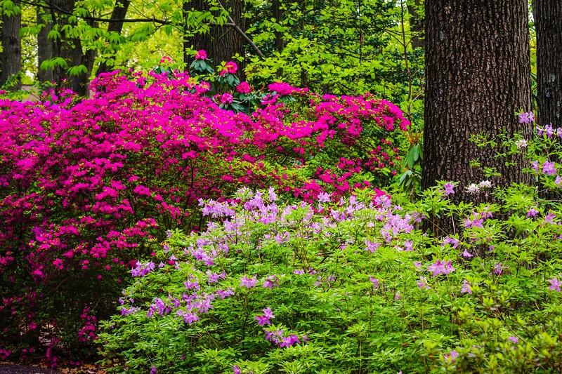 滨州詹金斯植物园(Jenkins Arboretum),鲜花盛开_图1-12