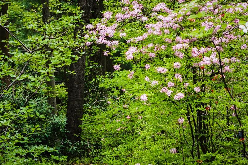 滨州詹金斯植物园(Jenkins Arboretum),鲜花盛开_图1-8