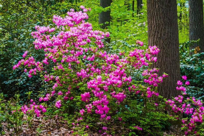 滨州詹金斯植物园(Jenkins Arboretum),鲜花盛开_图1-9