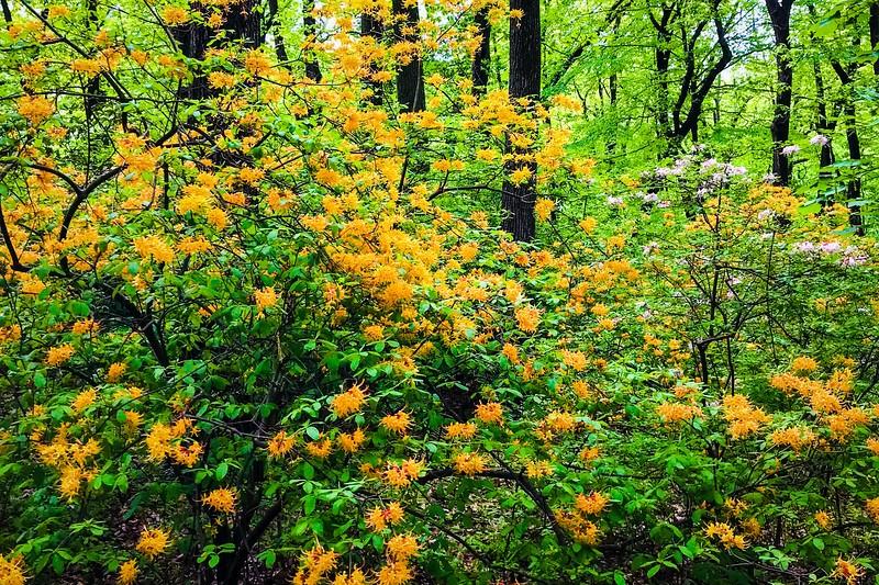 滨州詹金斯植物园(Jenkins Arboretum),鲜花盛开_图1-7