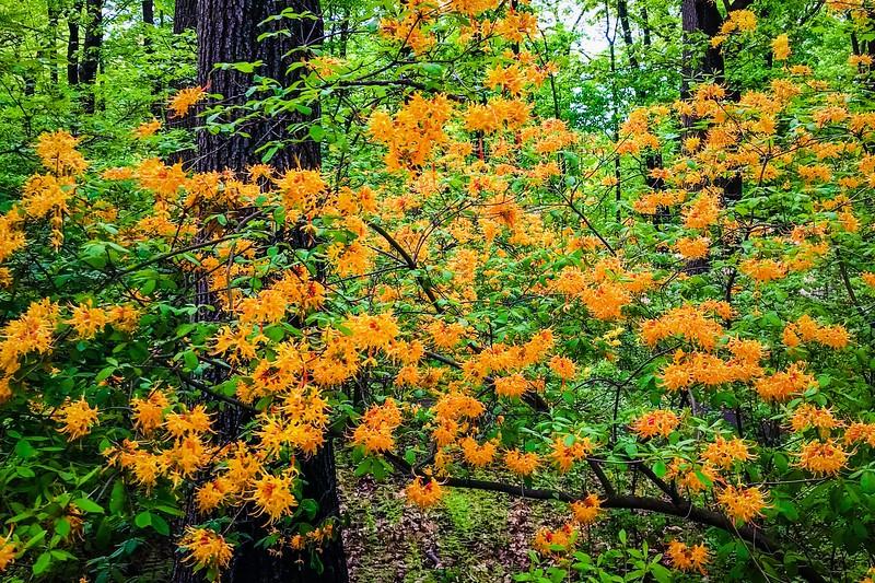 滨州詹金斯植物园(Jenkins Arboretum),鲜花盛开_图1-5