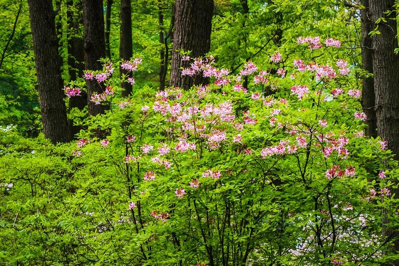 滨州詹金斯植物园(Jenkins Arboretum),鲜花盛开_图1-13