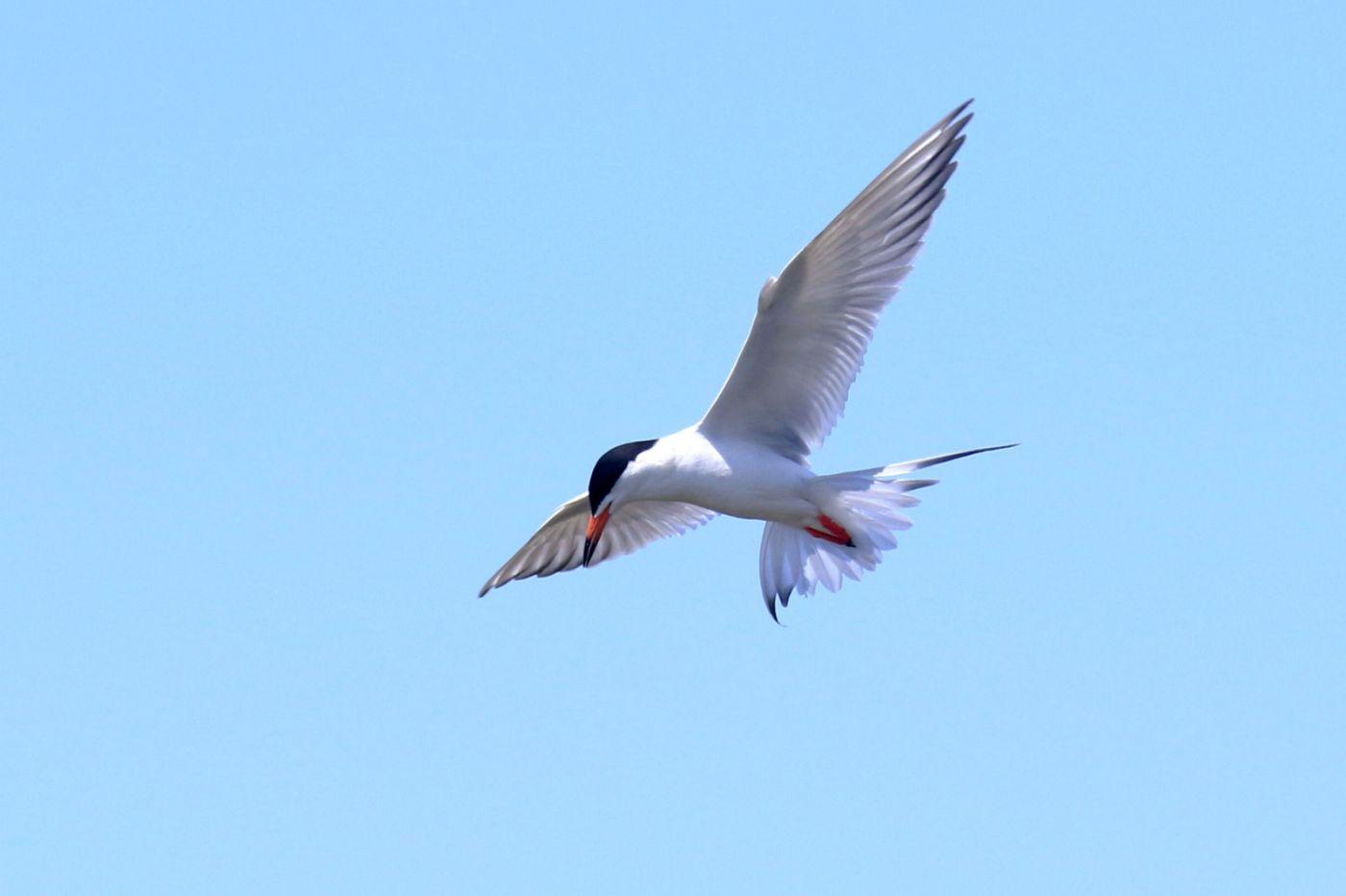 燕鸥捕鱼_图1-2