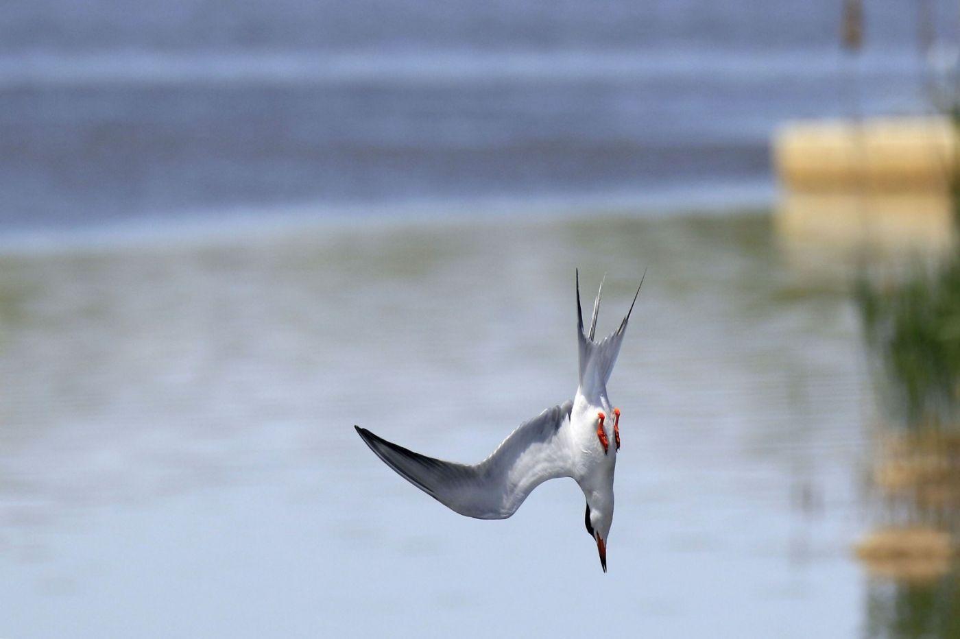 燕鸥捕鱼_图1-4