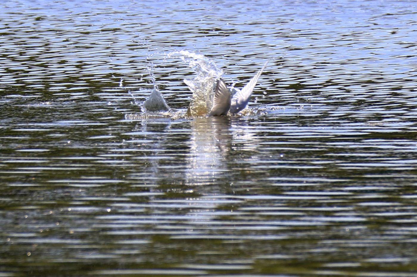 燕鸥捕鱼_图1-6