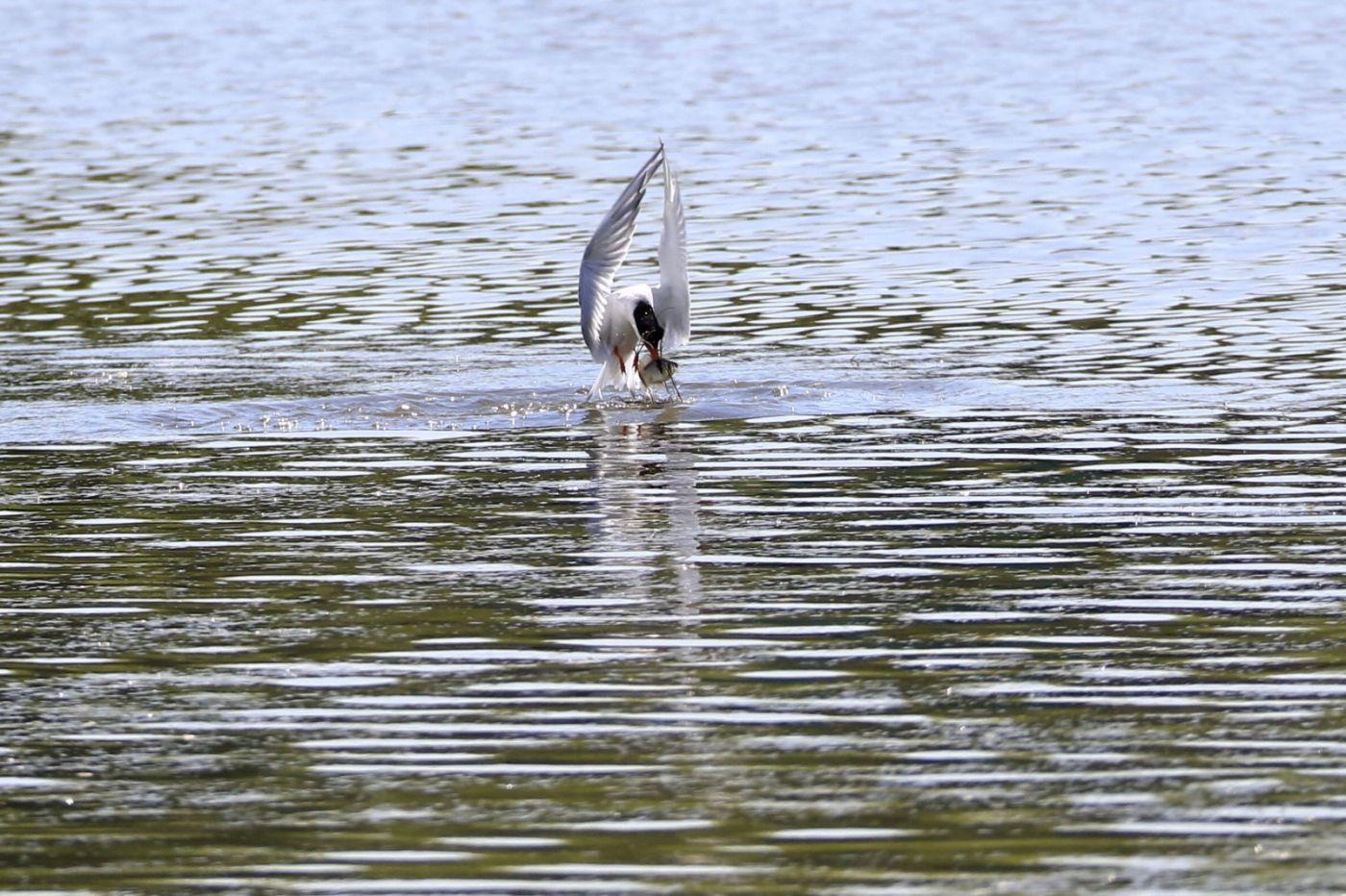 燕鸥捕鱼_图1-8