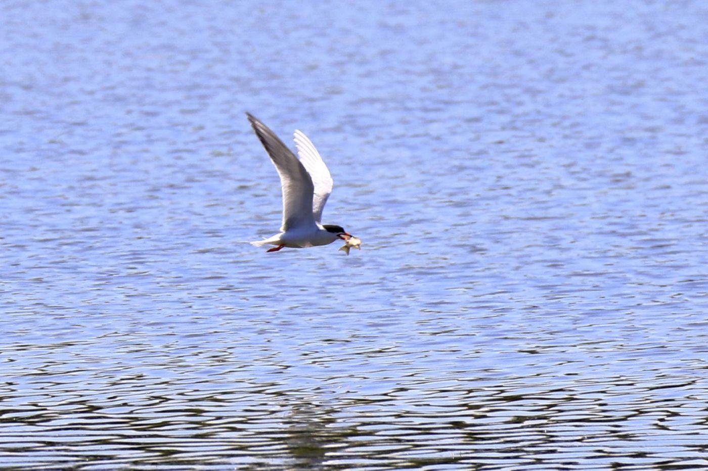 燕鸥捕鱼_图1-9