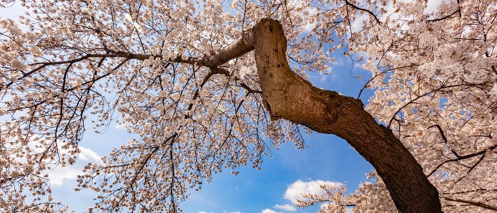 华盛顿樱花节,怒放的樱花_图1-1