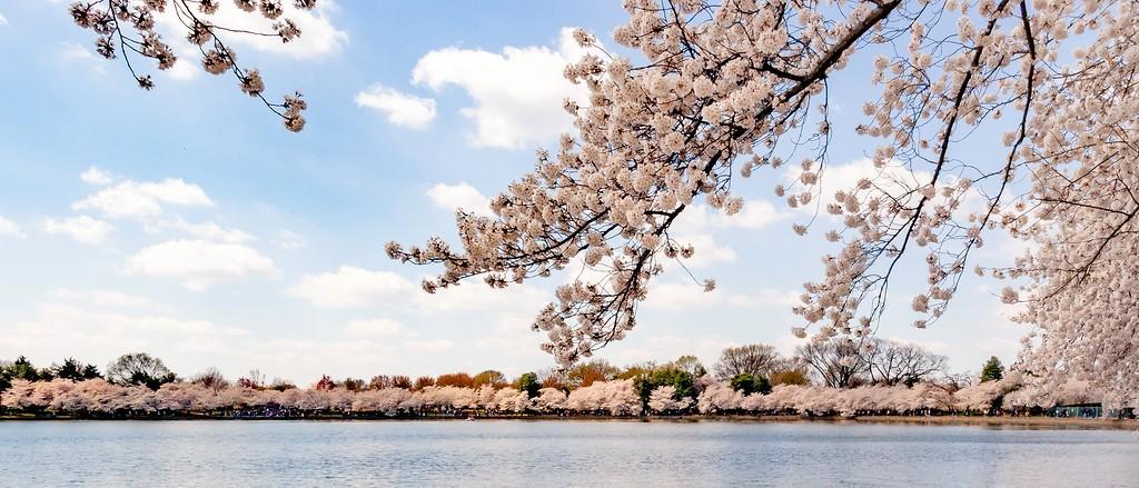 华盛顿樱花节,怒放的樱花_图1-3