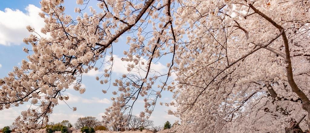 华盛顿樱花节,怒放的樱花_图1-2