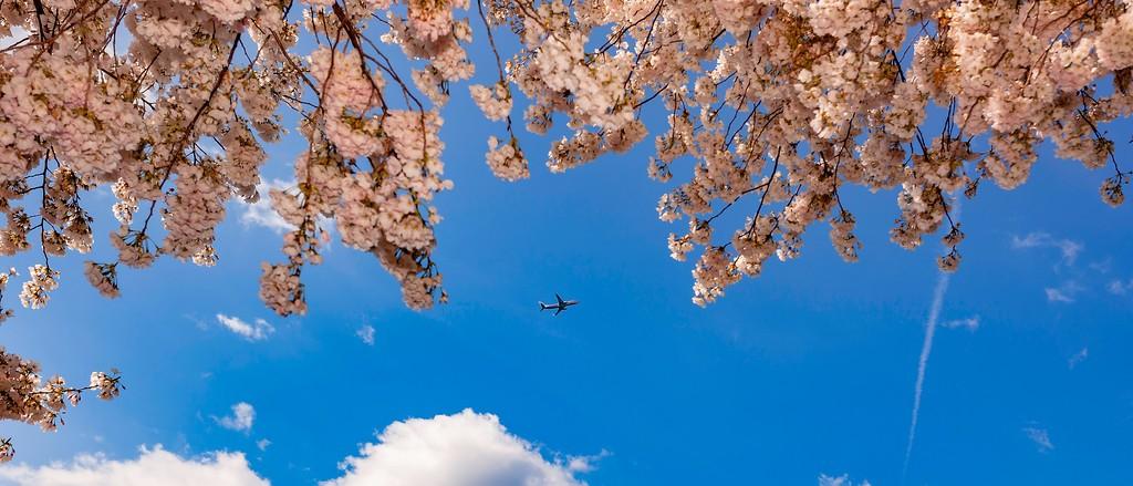 华盛顿樱花节,怒放的樱花_图1-4
