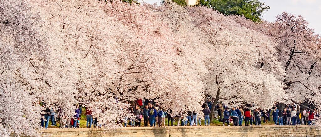 华盛顿樱花节,怒放的樱花_图1-10