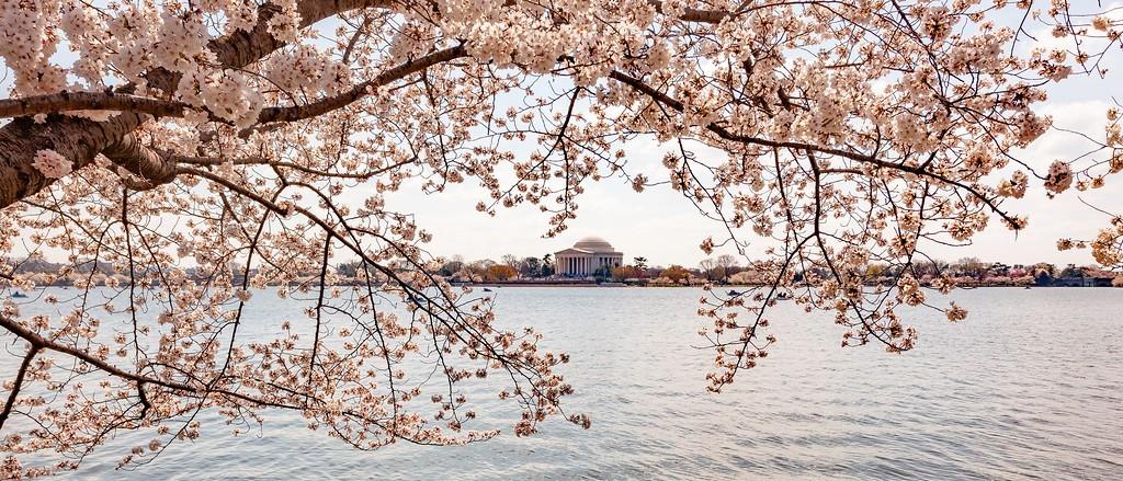 华盛顿樱花节,怒放的樱花_图1-9