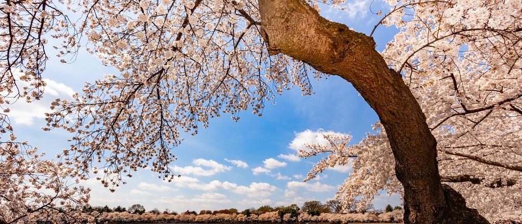 华盛顿樱花节,怒放的樱花_图1-6