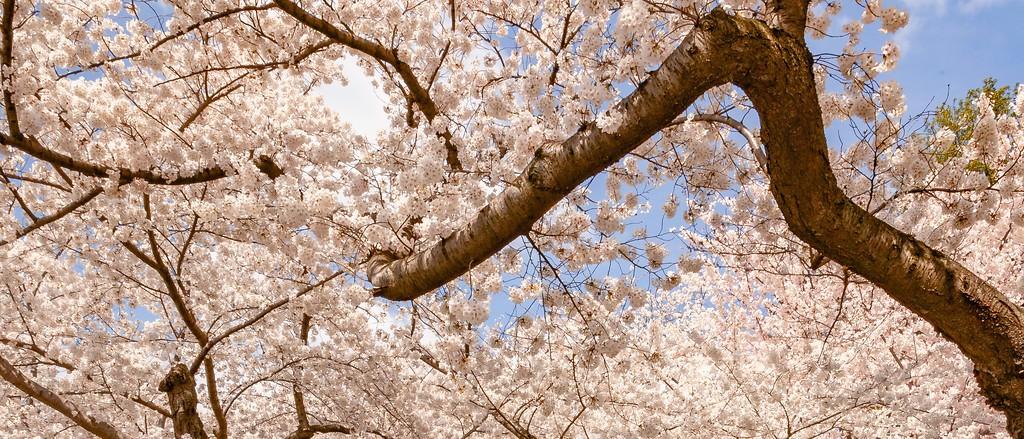 华盛顿樱花节,怒放的樱花_图1-11