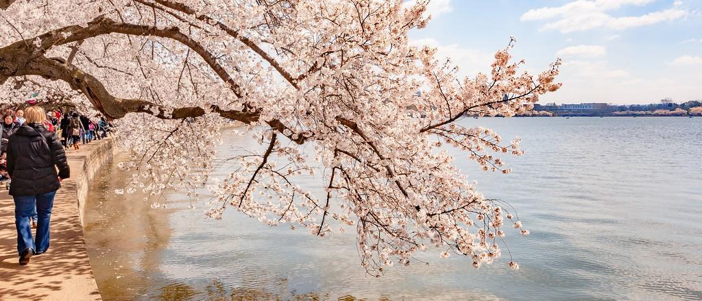 华盛顿樱花节,怒放的樱花_图1-7