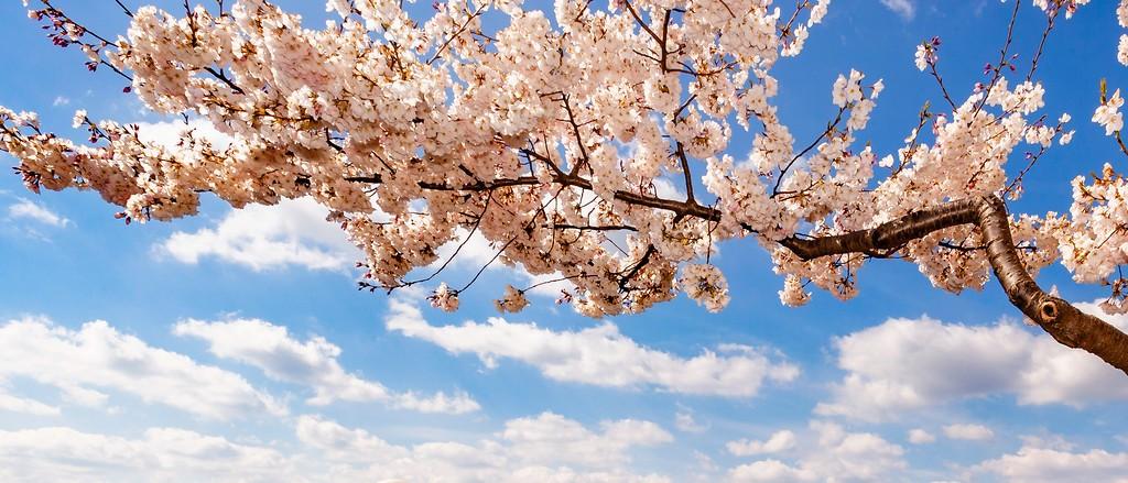 华盛顿樱花节,怒放的樱花_图1-5